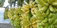 กินกล้วยไข่ มีประโยชน์มาก ๆ ใครที่กำลังสุขภาพแย่ รีบหามากินด่วน!!