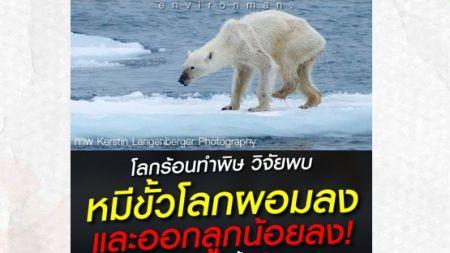 โลกร้อนทำพิษ วิจัยพบหมีขั้วโลกผอมลง และออกลูกน้อยลง!