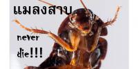 แมลงสาบ never die!!!