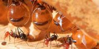 มดน้ำผึ้ง Honeypot ant
