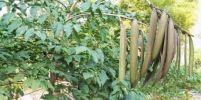 28 คุณค่าของเพกา พืชพื้นบ้าน ที่คนไทยไม่ค่อยรู้จัก เป็นทั้งอาหารและยา