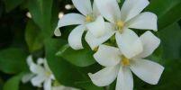 เหลือเชื่อ!! 12 เกร็ดความรู้สารพัดประโยชน์เกี่ยวกับดอกแก้วที่คุณอาจยังไม่รู้