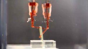 นักวิจัยชาวญี่ปุ่น พัฒนาหุ่นยนต์โดยใส่เนื้อเยื่อของกล้ามเนื้อเข้าไป