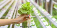 ผักไฮโดรโปนิกส์มีสารเคมีตกค้างมากกว่าผักที่ปลูกในดินยังไม่มีหน่วยงานรัฐรับผิดชอบ