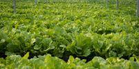 วัดพระธรรมกายพลิกวิกฤตโควิด-19 เปลี่ยนทุ่งดอกไม้เป็นสวนผักอินทรีย์