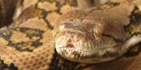 งูเหลือมยักษ์กลืนร่างหญิงอินโดนีเซียทั้งคนได้อย่างไร ?