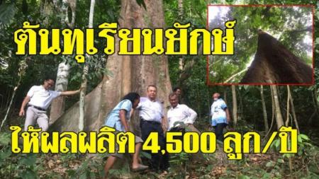 ตะลึง! ต้นทุเรียนยักษ์ อายุกว่า 100 ปี สูง 80 เมตร ให้ผลผลิต 4,500 ลูกต่อปี