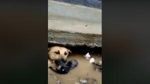 หัวใจแม่สุดยิ่งใหญ่!!!! แม่สุนัขมุดน้ำลงไปช่วยลูกสุนัขที่จมน้ำจากเหตุน้ำท่วม