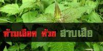 มหัศจรรย์ต้นสาบเสือ! สมุนไพรไทยที่มากด้วยสรรพคุณ ที่คุณควรรู้
