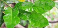 ใบมะกรูด..ใบไม้มหัศจรรย์ มีกรดอะมิโนครบทุกชนิด บำรุงสมอง ลดความดัน มีวิตะมินครบทุกตัว