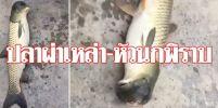 ปลาผ่าเหล่า – หัวเป็นนกพิราบ !!!