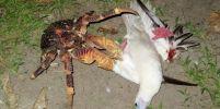 นักชีววิทยาแพร่คลิป ปูมะพร้าวยักษ์ไต่ต้นไม้ - จับกินนกทะเล