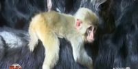 เกษตรกรจีนพบลูกลิงติดแพะเหมือนแม่
