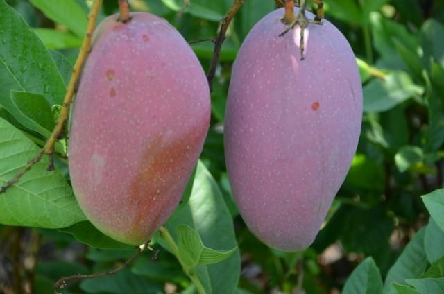 รู้จัก !!มะม่วงจักรพรรดิ มะม่วงน้ำดอกไม้สีม่วง มะม่วงอาร์ทูอีทู  มะม่วงสายพันธุ์ใหม่ สร้างรายได้ดี