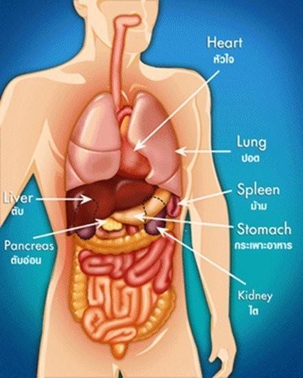 """""""ตับ"""" เป็นอวัยวะที่แข็งแรงมากและใหญ่ที่สุดของร่างกายและสำคัญมาก ๆ ไม่แพ้หัวใจและสมอง"""
