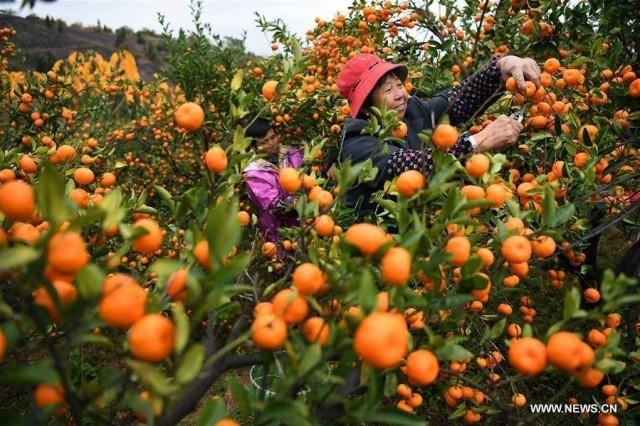 ส้มหมู่บ้านสือโหยว มีประวัติยาวนานกว่า 1,300 ปี คุณภาพเป็นเลิศมาตั้งแต่สมัยราชวงศ์ถัง