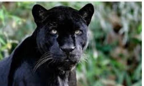 """""""เสือดำ"""" กับชะตากรรมในผืนป่าประเทศไทย"""