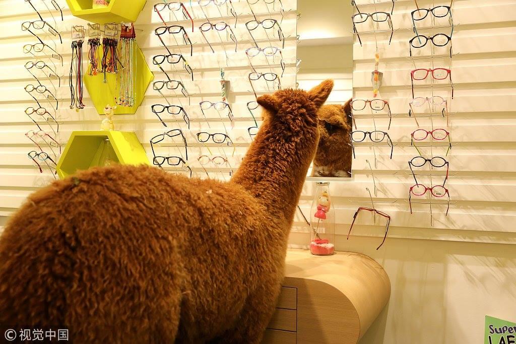 """มาชมความน่ารักของ """"เจ้าอัลปาก้า"""" เมื่ือหลงเข้าร้านแว่นในฝรั่งเศส"""