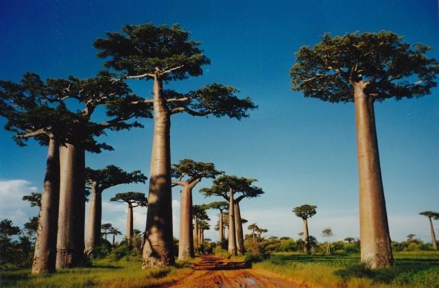 มหัศจรรย์ !! ต้นมหาสมบัติ หรือต้นเบาบับ(Baobab) มีจริง ไม่ใช่แค่พูดกันติดปากเท่านั้น