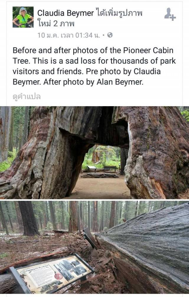 """เกิดขึ้น ตั้งอยู่ ดับไป เป็นธรรมดา""""ไพโอเนียร์ เคบิน"""" ต้นไม้ยักษ์มีชื่อเสียงที่สุดในสหรัฐอเมริกา  โค่นล้ม !!"""