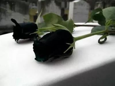 กุหลาบสีดำของแท้จากประเทศตุรกี