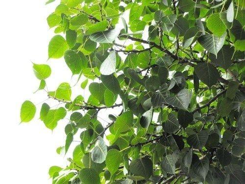ต้นไม้ 12 ชนิด ที่ห้ามปลูกไว้ในบ้าน!! เพราะมีเหตุผลและความเชื่อ ที่คนรุ่นใหม่อย่าได้มองข้ามเชียว!