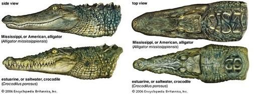 ความแตกต่างระหว่าง Crocodile และ Alligator ถึงจะเป็นไอ่เข้ แต่ก็ไม่เหมือนกันนะ