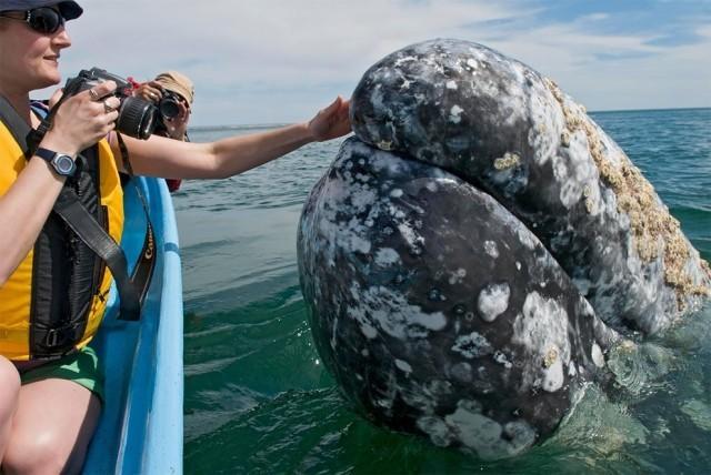 เจ้าปลาวาฬสีเทามีอัธยาศัยดี๊ดี ว่ายน้ำเข้ามาถ่ายรูปกับนักท่องเที่ยวอย่างเป็นกันเอง