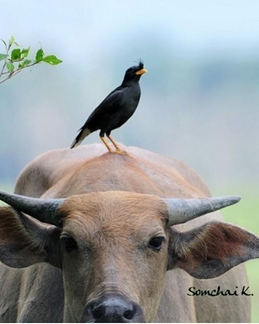นกเอี้ยงเลี้ยงควายเฒ่า...ควายกินข้าวนกเอี้ยงหัวโต!!