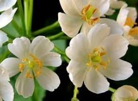 ดอกไม้มหัศจรรย์  แห้งแล้วกลับฟื้นคืนได้ดังเดิม