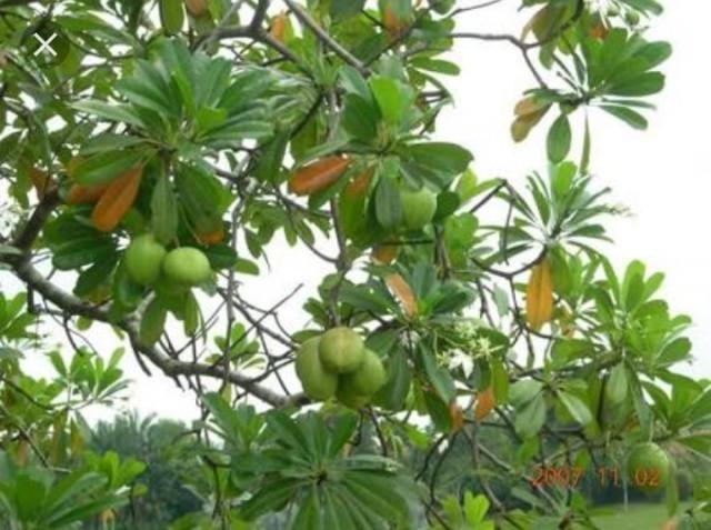 นักพิษวิทยาเตือน ต้นตีนเป็ดพิษร้ายถึงขั้นเสียชีวิต