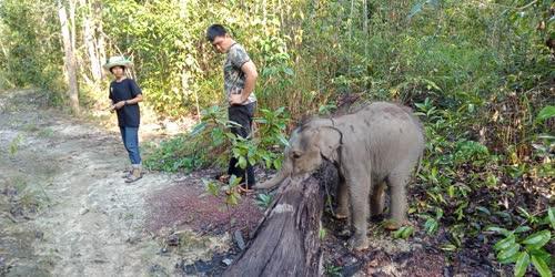 """กรมอุทยานแห่งชาติฯ เตรียมพร้อมส่ง """"ชบาแก้ว"""" ลูกช้างป่ากลับคืนสู่ธรรมชาติ"""