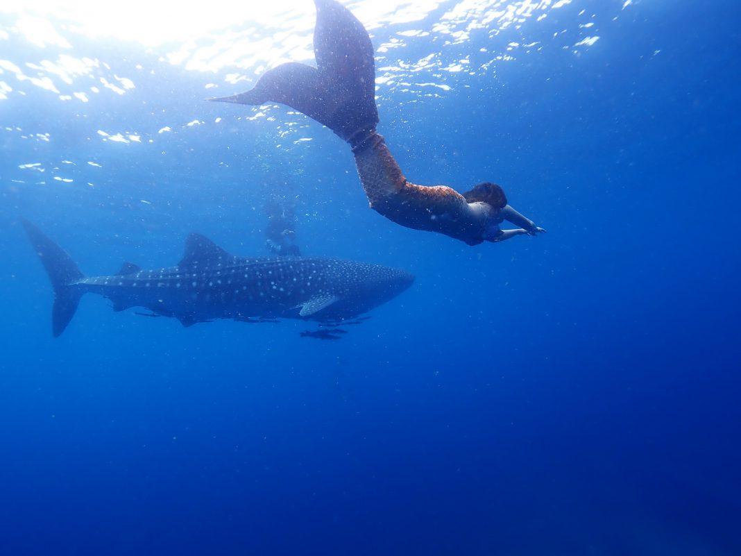 ครั้งแรกในประเทศไทย  !!!! …สาวแต่งชุดเงือกว่ายน้ำเล่นกับฉลามวาฬ (มีคลิป)