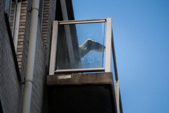 """เรื่องราวของ """"นกกระสาสีเทา"""" กับวิถีชีวิตที่กลมกลืน ภายในสังคมเมืองอัมสเตอร์ดัม"""