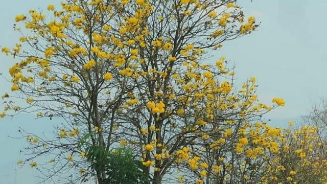 ดอกเหลืองบานสะพรั่งรับหน้าร้อน! ตลอดเส้นทางเชียงราย-เชียงของ